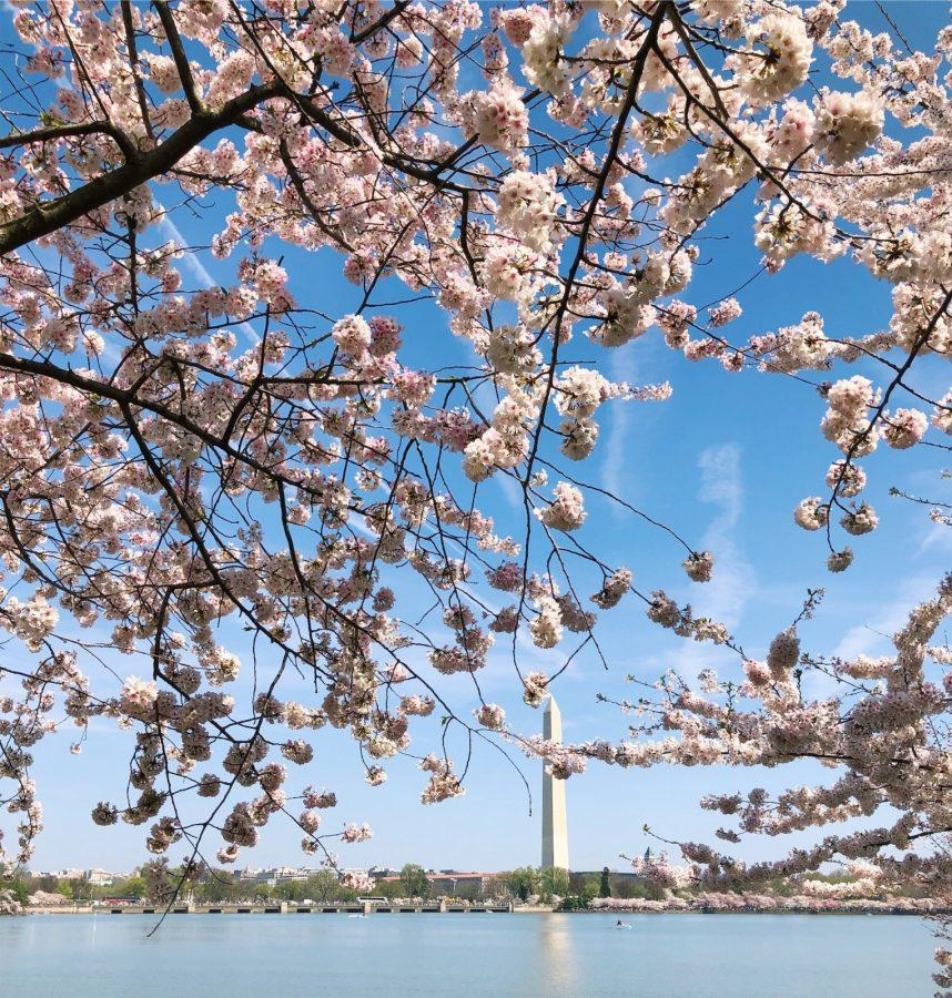 Washington DC blooms into spring with the cherry blossom festival