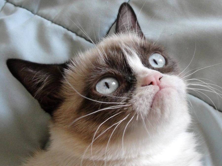 Famous+feline+%E2%80%9CGrumpy+Cat%E2%80%9D+dies+at+age+7